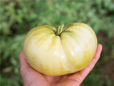 Great White Heirloom Tomato