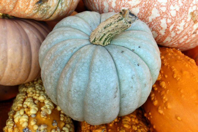 Queensland Blue pumpkin shown with other gourds.