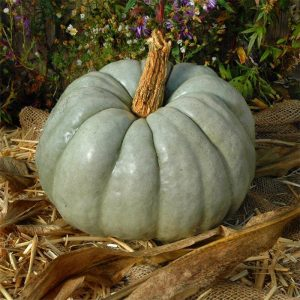 Blue Doll Pumpkin in rustic setting