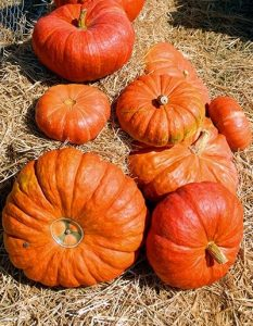 Cinderella Pumpkins in a pile on hay