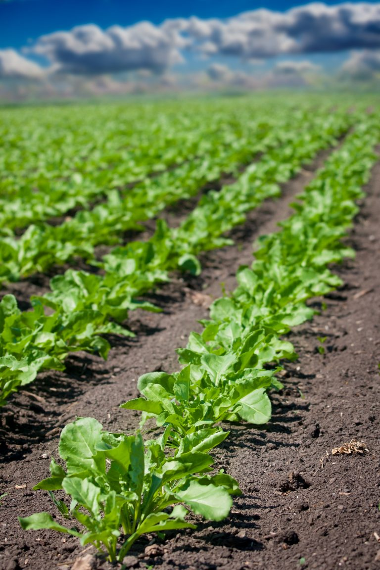 Field of sugar beets